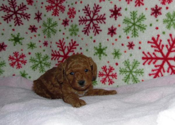 Toy Poodle girl available